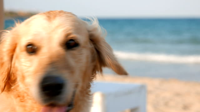 Close up shot of a beautiful golden retriever dog relaxing on the beach