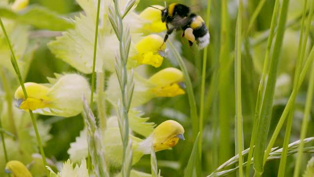 close up shot of a bee buzzing around yellow wildflowers - ブンブン鳴る点の映像素材/bロール