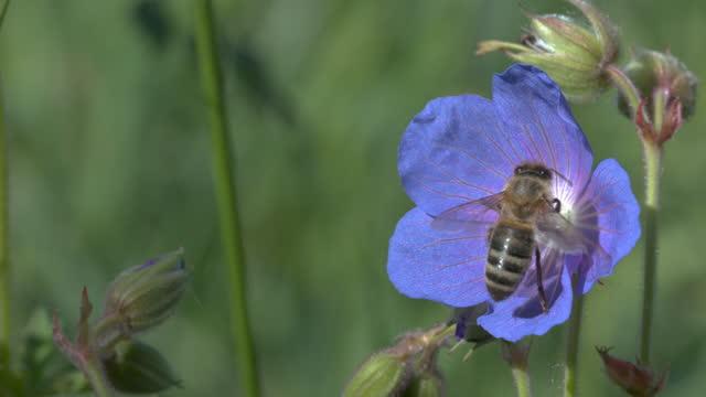 nahaufnahme einer biene, die honig sammelt und fliegt - wildtier stock-videos und b-roll-filmmaterial