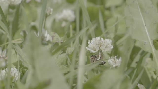 närbild skott av ett bi på en vildblomma - en minut eller längre bildbanksvideor och videomaterial från bakom kulisserna