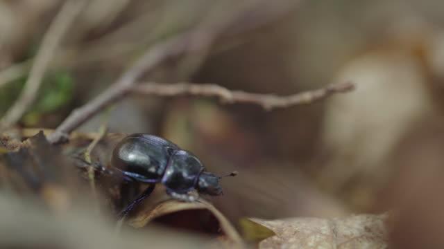 nahaufnahme eines schwarzen käfers, der an blättern und zweigen entlang kriecht - insekt stock-videos und b-roll-filmmaterial