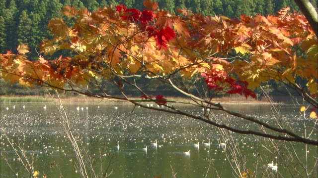 close up shot of a branch and leaves on mt. takadate in autumn colors - water bird stock videos & royalty-free footage