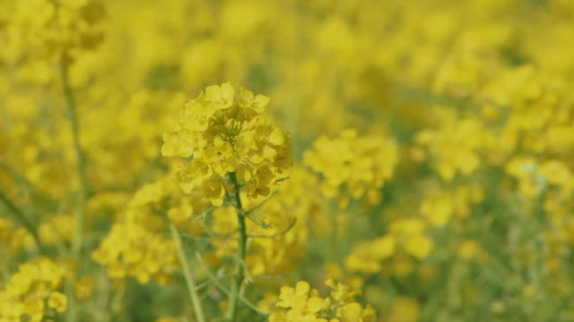 Close up shot of a bunch of canola flowers swaying in the winds in the middle of canola field