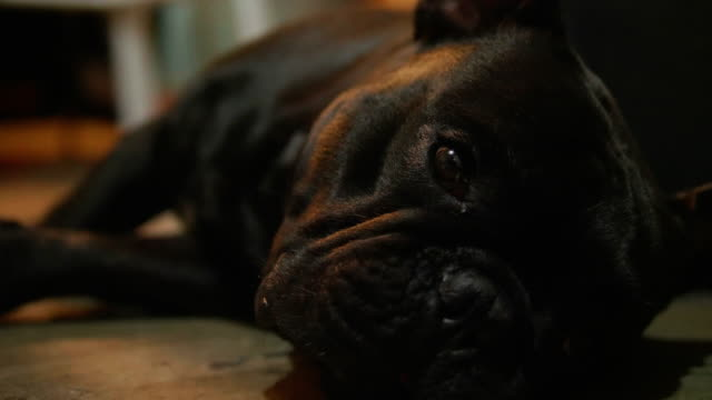 vídeos de stock e filmes b-roll de close up shot of a cute sad looking little dog, black french bulldog. - trela de animal de estimação