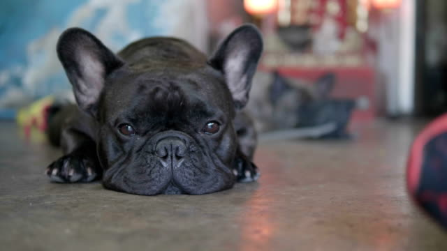 close up shot of a cute sad looking little dog, black french bulldog. - french bulldog stock videos and b-roll footage