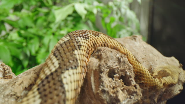 slo mo close up shot of a dangerous snake - scaly stock videos & royalty-free footage