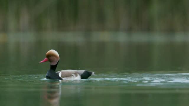夜明けに湖で泳ぐアヒルのショットをクローズアップ - ネイチャーズウィンドウ点の映像素材/bロール