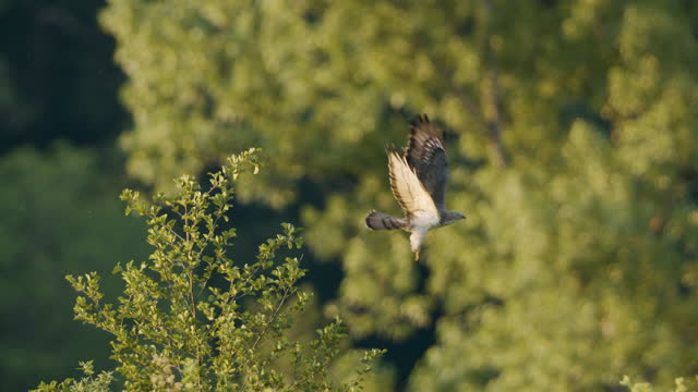 close up shot of a falcon sitting atop a tree and taking flight - habicht stock-videos und b-roll-filmmaterial
