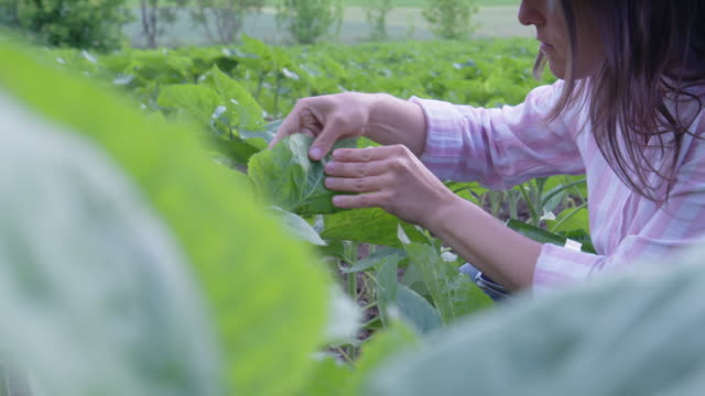 close up shot of a farmer woman's hands examining young sunflower plants in the middle of an agricultural field. using digital tablet. agricultural occupation. - agricultural occupation stock videos & royalty-free footage