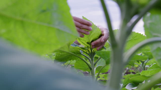 close up shot of a farmer woman's hands examining young sunflower plants in the middle of an agricultural field. agricultural occupation. - agricultural occupation stock videos & royalty-free footage