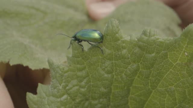 stockvideo's en b-roll-footage met sluit omhoog schot van een groene kever die over een blad loopt - menselijke vinger