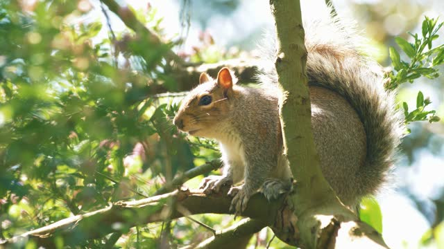 close up shot of a grey squirrel perched in a tree on may 14 2021, in somerset, united kingdom. - animals in the wild stock videos & royalty-free footage