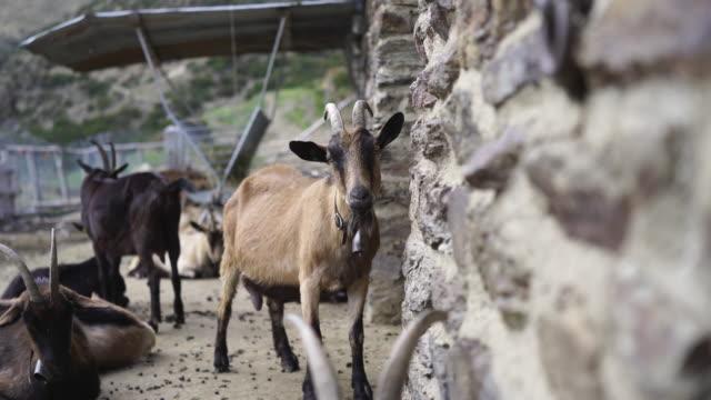 vídeos de stock e filmes b-roll de close up shot of a group of goats in stables - grupo médio de animais