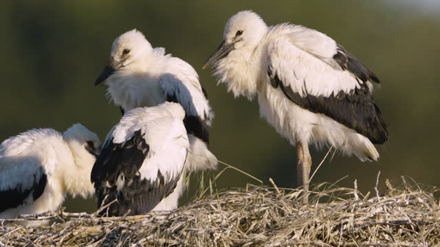 stockvideo's en b-roll-footage met close up shot of a group of white storks sitting on a nest - vier dieren