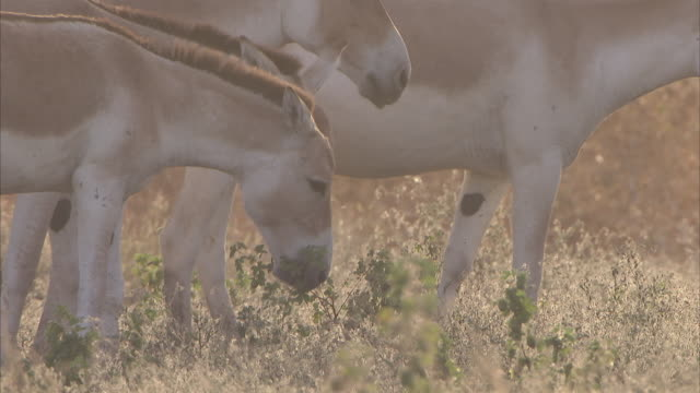 a close up shot of a herd of indian wild ass grazing in the evening sun - grazing stock videos & royalty-free footage