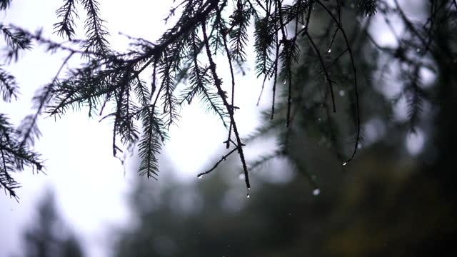 vídeos y material grabado en eventos de stock de disparo de cerca de una aguja de pino bajo la lluvia - pino conífera