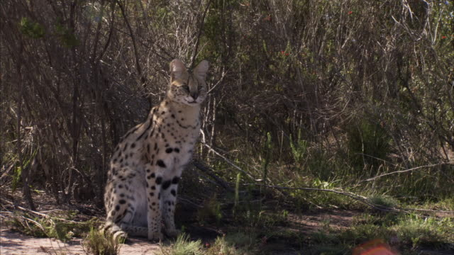 Close up shot of a Serval's ear. Available in HD