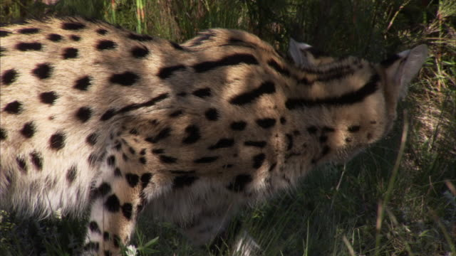Close up shot of a Serval's face while it sleeps Available in HD