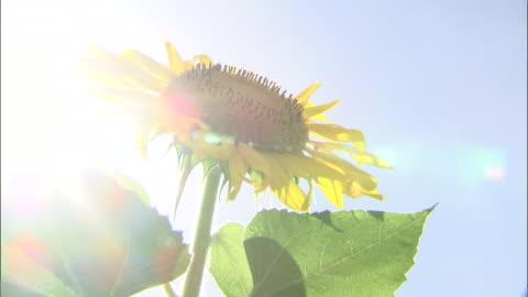 close up shot of a sunflower - überbelichtet stock-videos und b-roll-filmmaterial