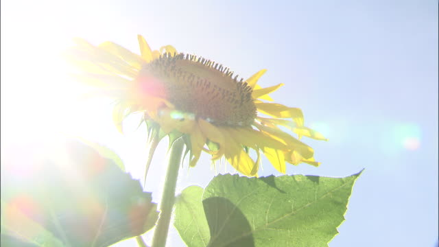 stockvideo's en b-roll-footage met close up shot of a sunflower - high key