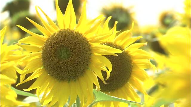 close up shot of a sunflower - ståndare bildbanksvideor och videomaterial från bakom kulisserna