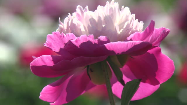 close up shot of a white and pink chinese peonies (paeonia lactiflora) - chinese herbal medicine stock videos and b-roll footage