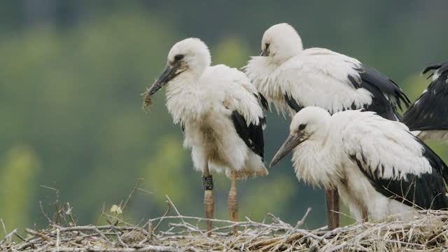 colpo ravvicinato di cicogne bianche e giovani seduti su un nido - nido di animale video stock e b–roll