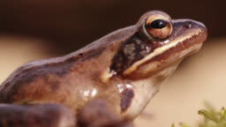 Close up shot of a woodland frog sitting idle on moss