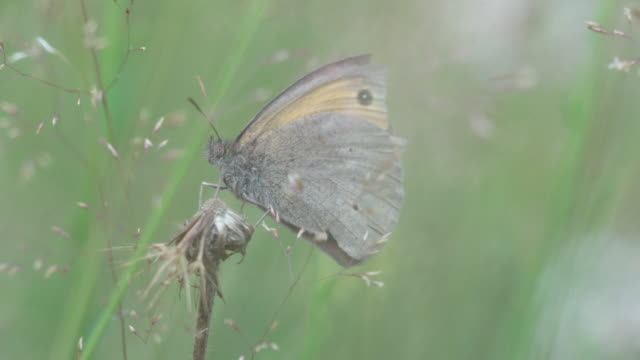 close up shot of a woodland moth sitting on grass blade - moth stock videos & royalty-free footage