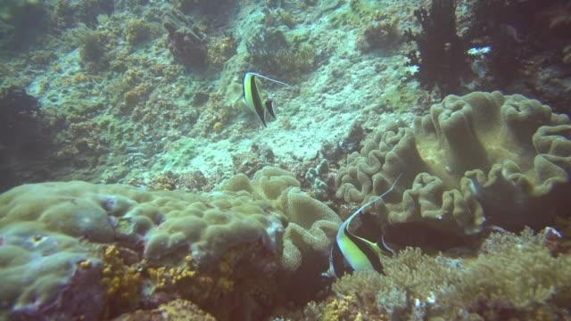 サンゴの天使魚のクローズアップショット - エンゼルフィッシュ点の映像素材/bロール