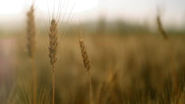 ds フィールドで小麦の耳のショットを閉じます - 茎点の映像素材/bロール