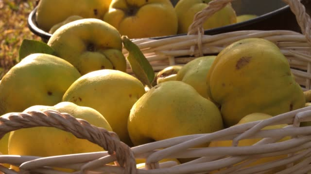 close up shot of basket full of fresh, ripe quinces - quince stock videos & royalty-free footage