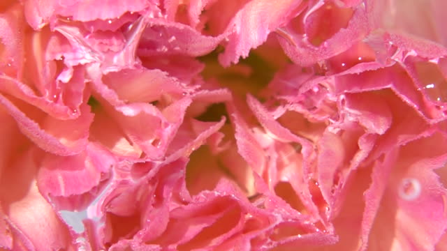 close up shot of carnation - single flower stock videos & royalty-free footage