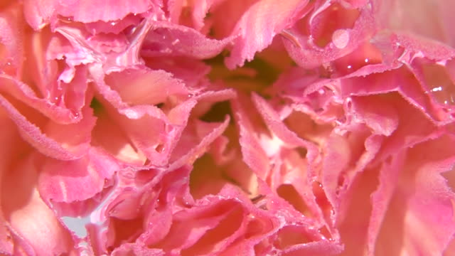 Close up shot of Carnation