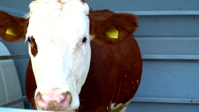 close up shot of cow in farm - beef cattle stock videos & royalty-free footage