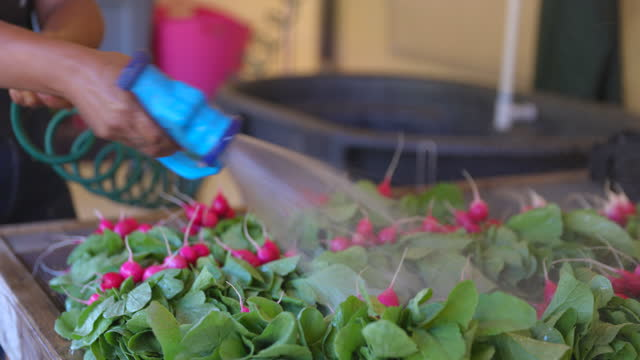 close up shot of female farmer washing radishes at organic farm - crucifers stock videos & royalty-free footage