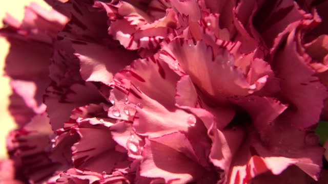 close up shot of flower - carnation flower stock videos & royalty-free footage