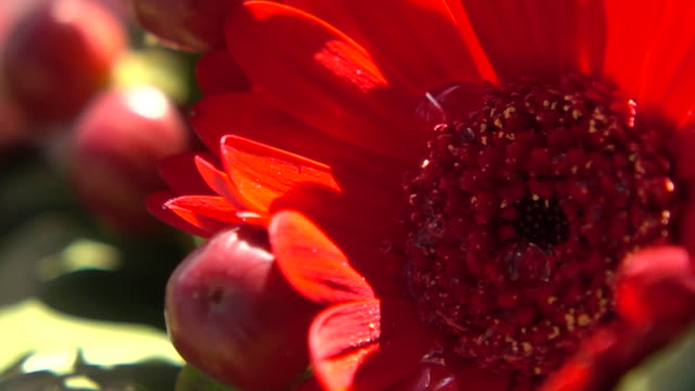 close up shot of flower - back lit flower stock videos & royalty-free footage