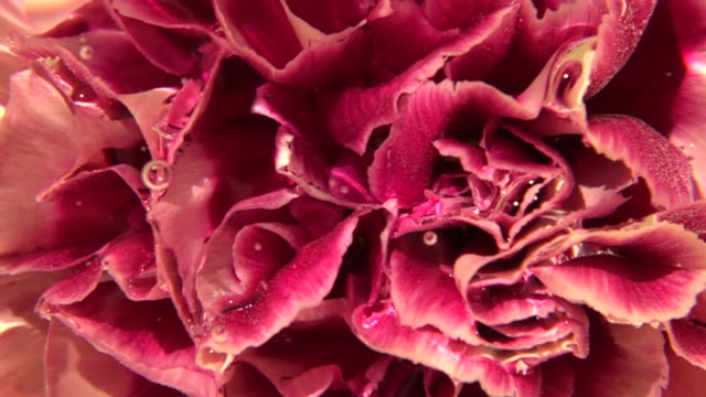 close up shot of flower - petal stock videos & royalty-free footage