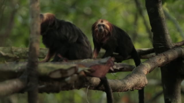 close up shot of golden headed lion tamarin monkey in treetops in brazil - south america stock videos & royalty-free footage
