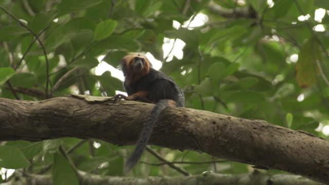 vídeos de stock, filmes e b-roll de close up tiro de macaco-leão-leão-dourado em copas de árvores no brasil - animal selvagem