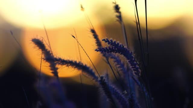 Cierre toma de flores de la hierba en el viento suave atardecer