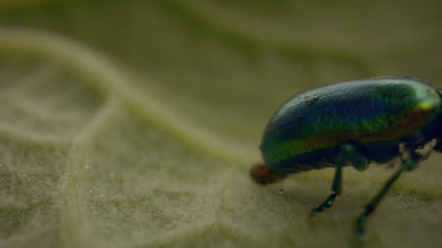 close up shot of green beetle crawling on a green leaf - animals in the wild stock videos & royalty-free footage