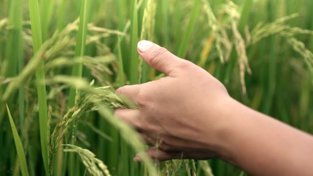 close up shot of green rice farm and hand - rice stock videos & royalty-free footage