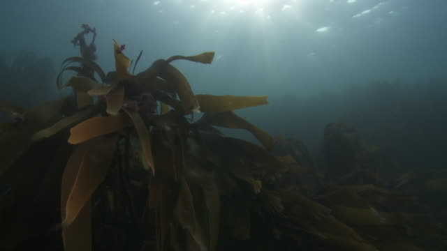 Close up shot of kelp moving in the current