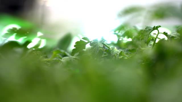溫室中帕斯利的特寫鏡頭 - parsley 個影片檔及 b 捲影像