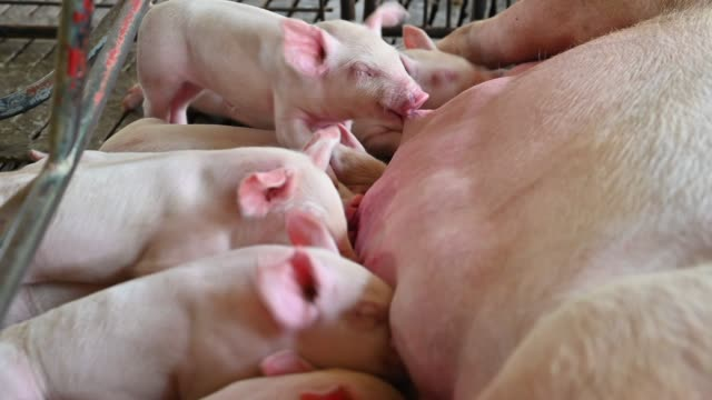 close up shot of piglets suckling mother sow - medium group of animals stock videos & royalty-free footage
