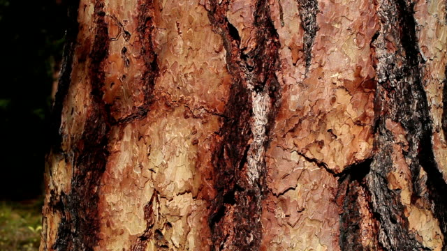 close up shot of ponderosa pine tree bark. - tree trunk stock videos & royalty-free footage