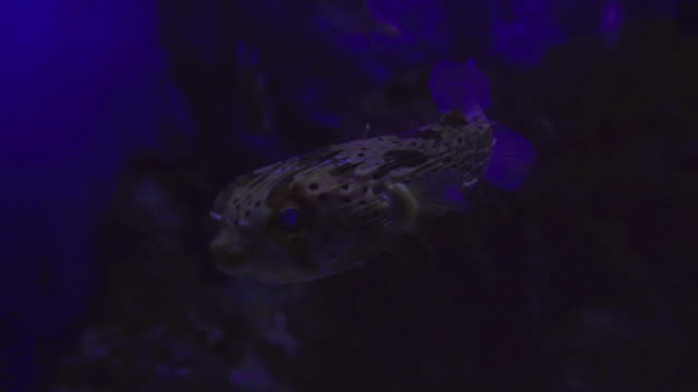 close up shot of puffer fish. - balloonfish stock videos and b-roll footage