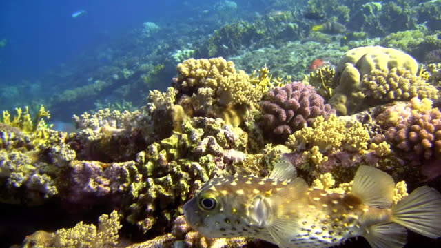 hd: close up shot of pufferfish - balloonfish stock videos and b-roll footage